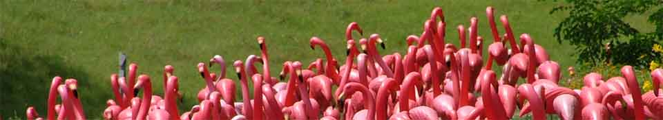 Picture of a flock of Flamingos